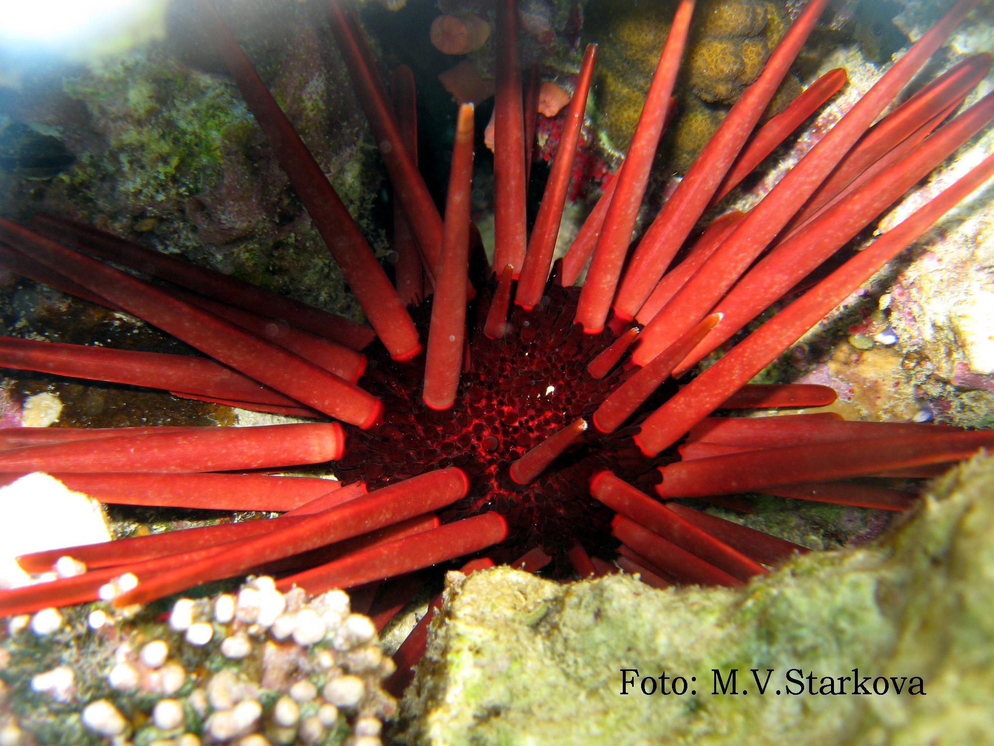 морские ежи в красном море фото